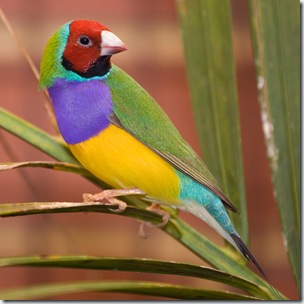 male_adult_gouldian_finch